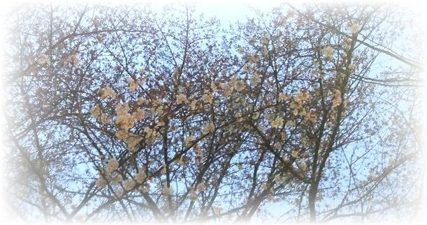 野良さんの朝の桜