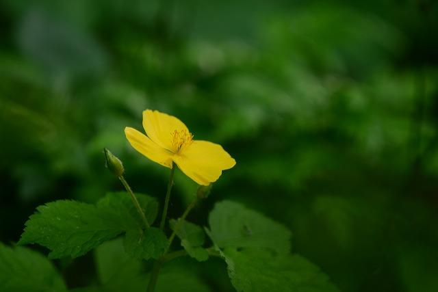 ヤマブキ草1