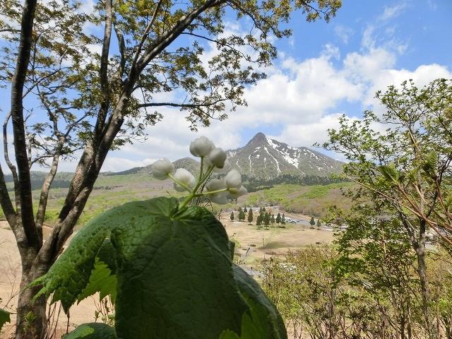 大山のサンカヨウ1