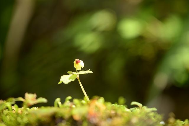サンインシロカネ草3