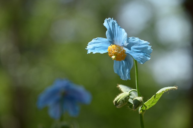 ヒマラヤの青いケシ 1