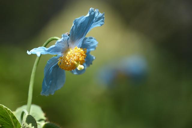ヒマラヤの青いケシ 3