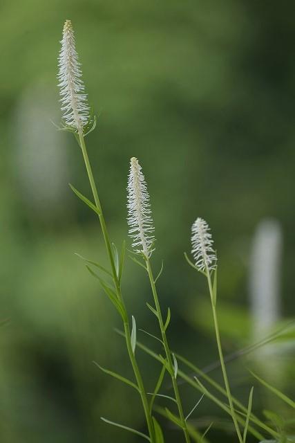 西明寺の白糸草1
