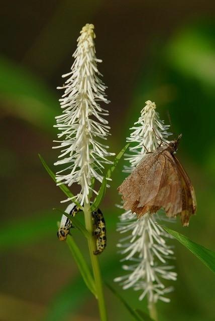 シャクトリ虫と天狗蝶1
