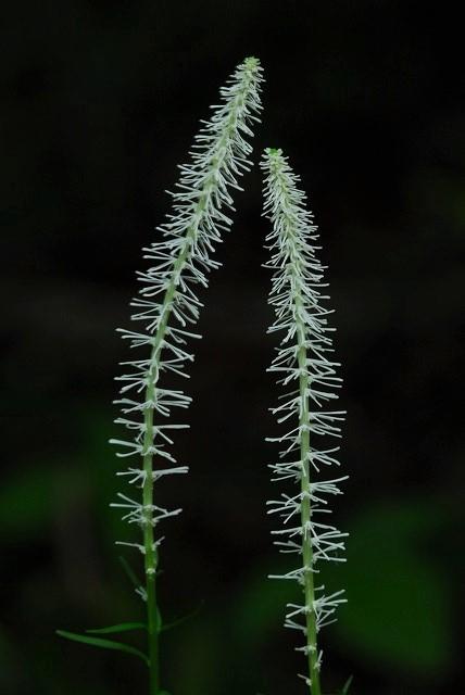 寄り添う白糸草