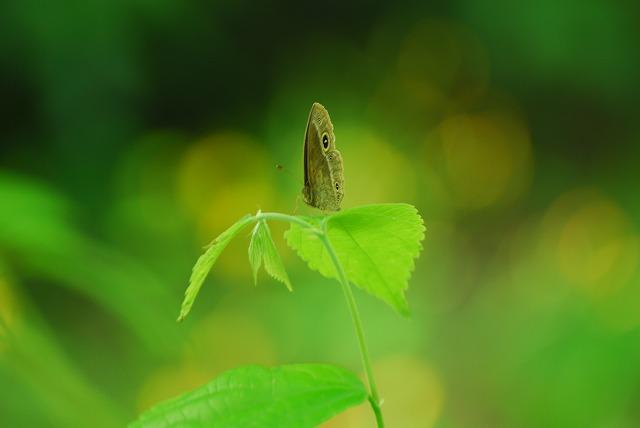 葉の上にとまるジャノメ蝶