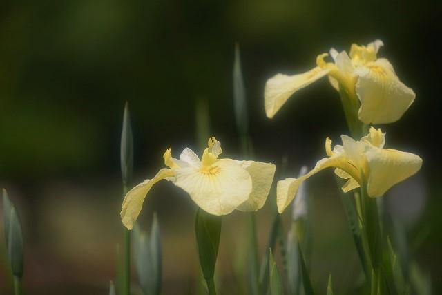 あやめ池公園の花菖蒲4