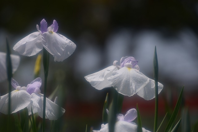 あやめ池公園の花菖蒲6