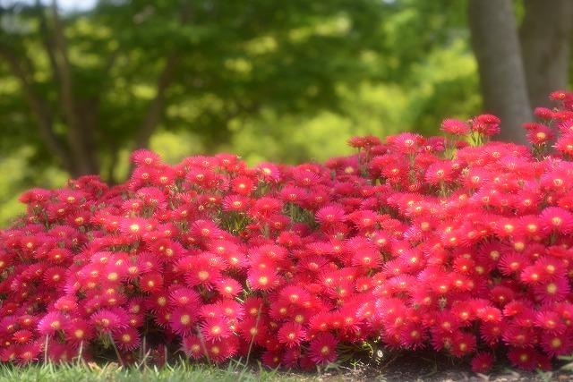 タイワンマツバ菊