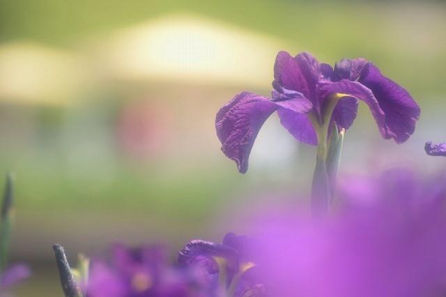 花菖蒲(峰紫)