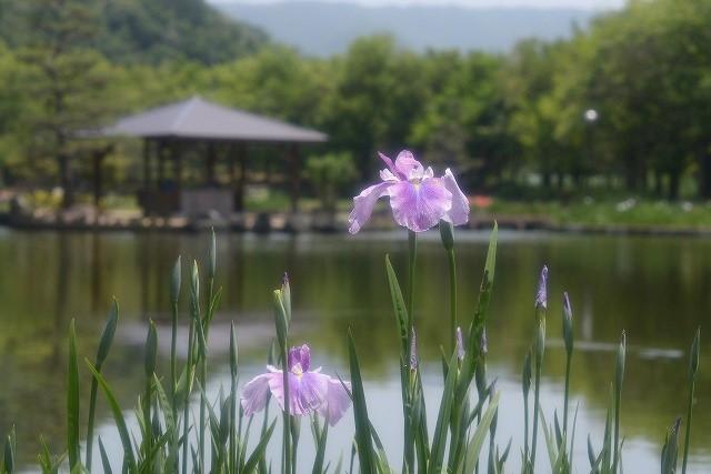 あやめ池公園7