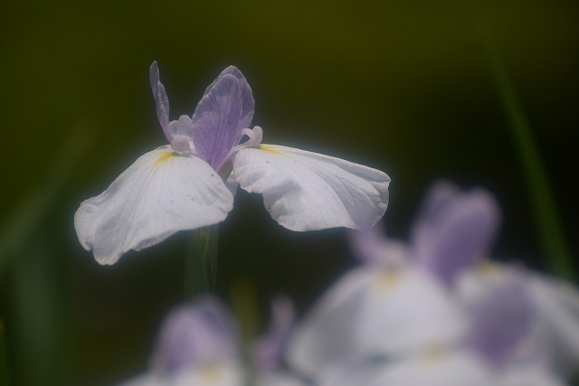 あやめ池公園の花菖蒲13