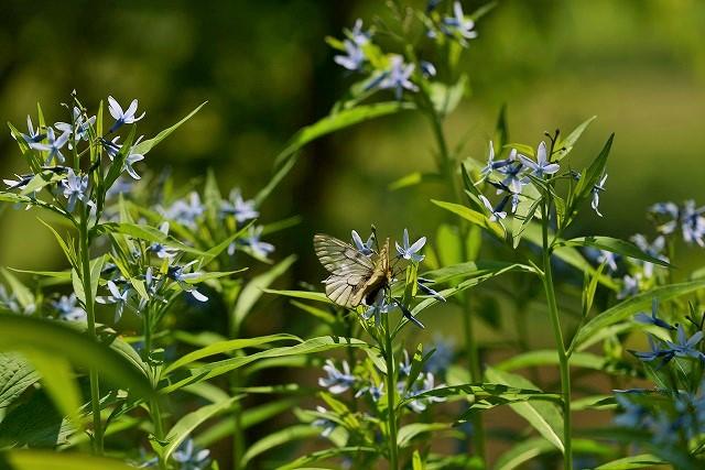 丁字草とウスバシロ蝶1