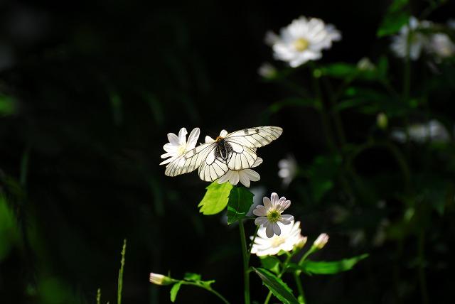ミヤマヨメナとウスバシロ蝶1