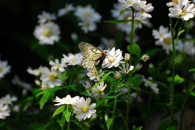 ミヤマヨメナとウスバシロ蝶2