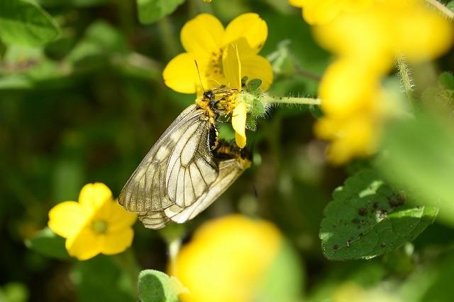 ウスバシロ蝶の交尾1