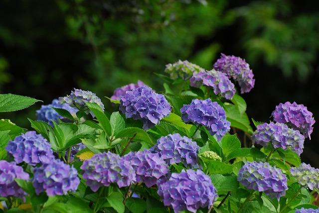 龍泉寺の紫陽花1