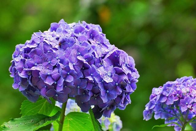 龍泉寺の紫陽花2