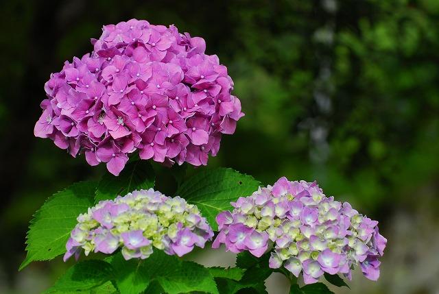 龍泉寺の紫陽花3