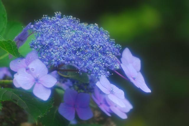 帰りがけの門に咲いてた紫陽花1