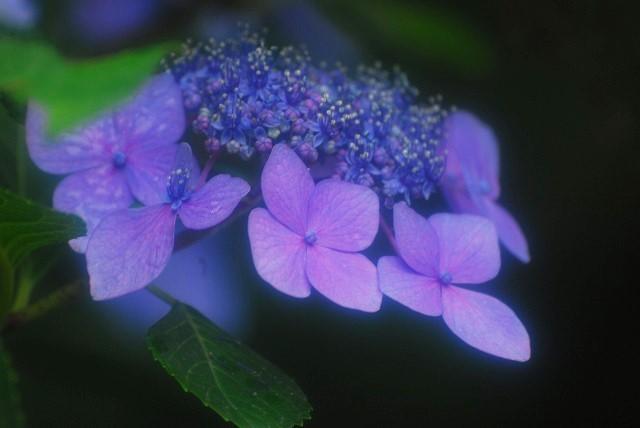 帰りがけの門に咲いてた紫陽花2