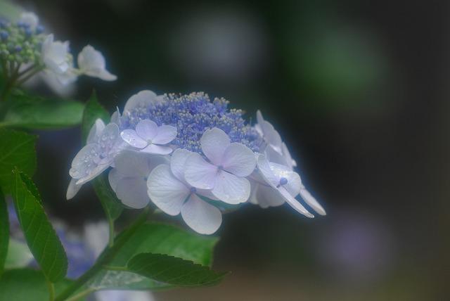 帰りがけの門に咲いてた紫陽花3