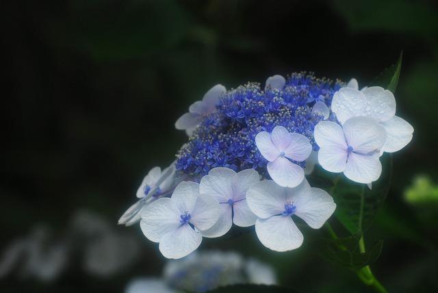 帰りがけの門に咲いてた紫陽花4