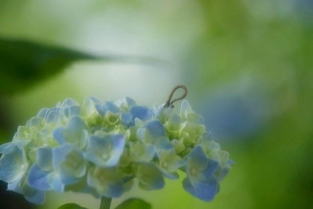 紫陽花とシャクトリムシ