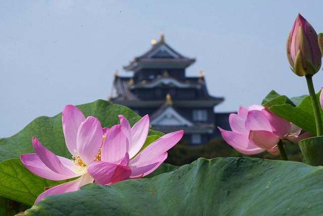 岡山城と蓮1