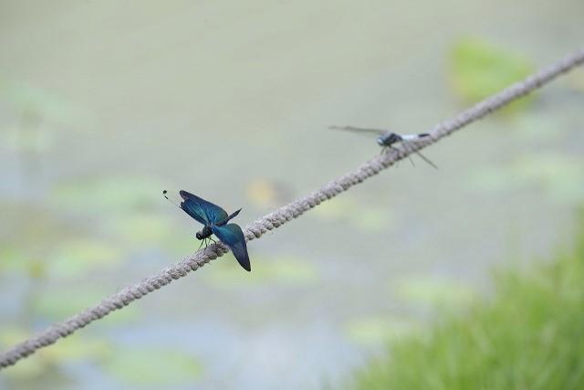 蝶トンボとシオカラトンボ1