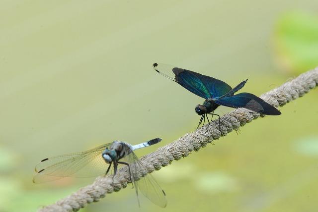 蝶トンボとシオカラトンボ2