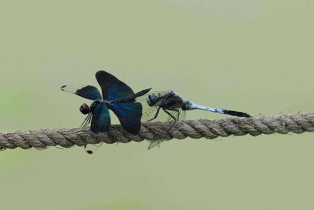 蝶トンボとシオカラトンボ3