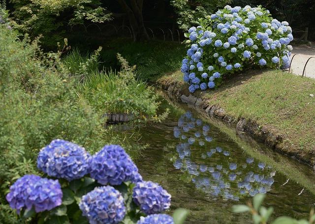 後楽園の紫陽花1