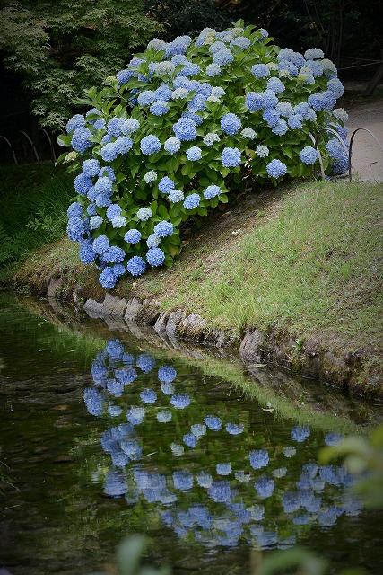 後楽園の紫陽花2