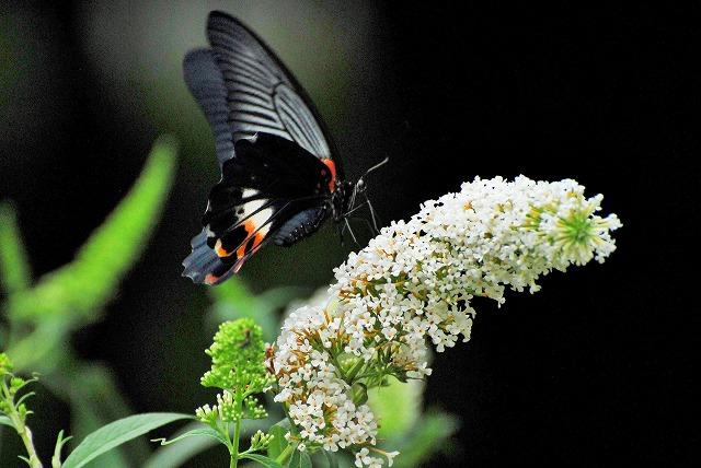 ブットレアの花にモンキアゲハ1