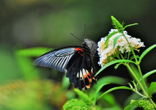 ブットレアの花にモンキアゲハ2