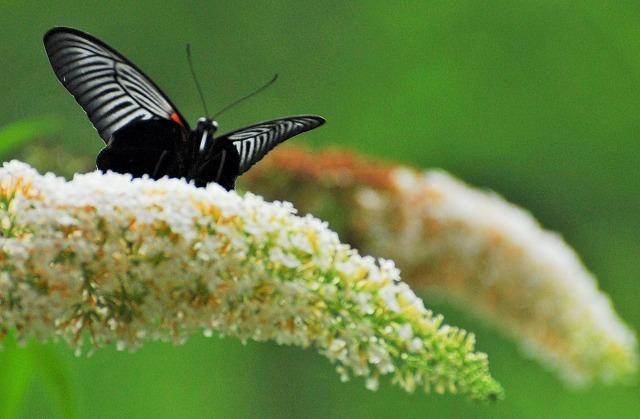 ブットレアの花にモンキアゲハ3
