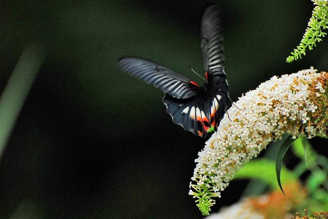 ブットレアの花にモンキアゲハ4