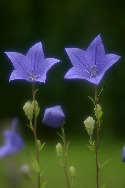 キキョウの花1