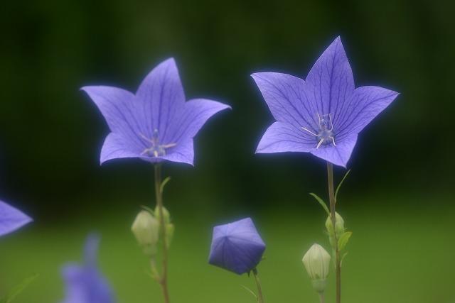 キキョウの花1-2