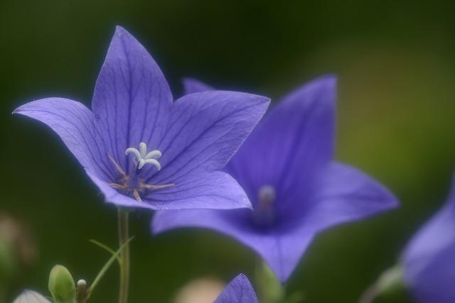 キキョウの花3