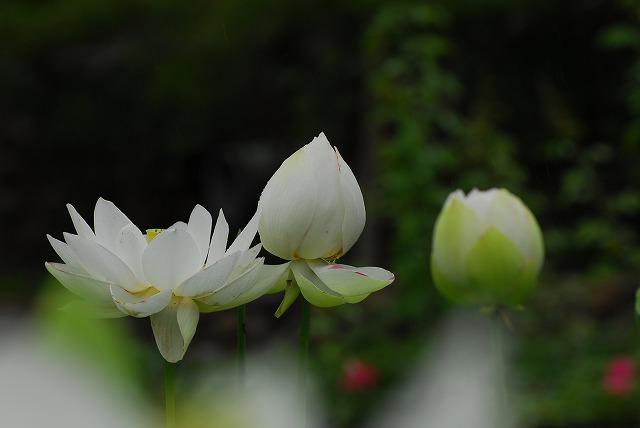 白い大名蓮1