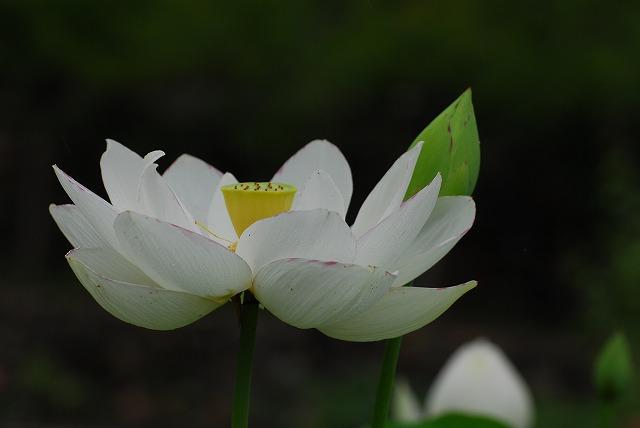 白い大名蓮2