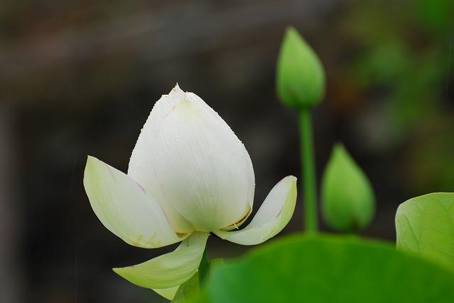 白い大名蓮3