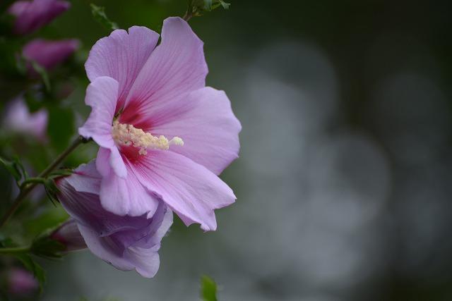ムクゲの花1