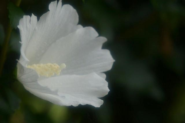 ムクゲの花(白)1