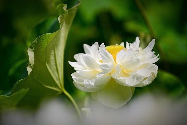 八重咲きの白い蓮1