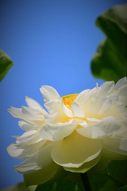 八重咲きの白い蓮2