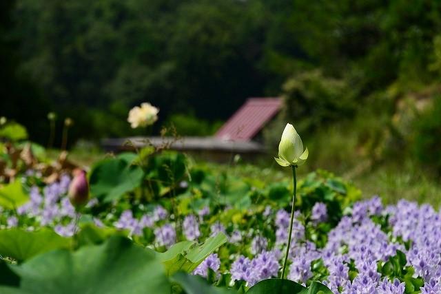 蓮の蕾とホテイアオイ1