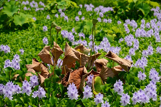ホテイアオイに囲まれた枯れ蓮